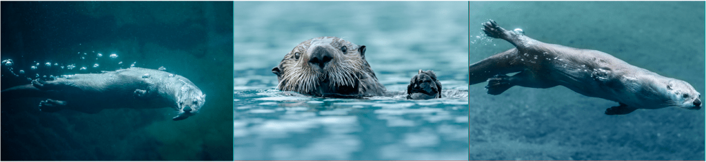 3 pictures of Otters