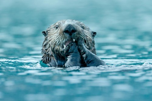 picture of sea otter holding paws to mouth.